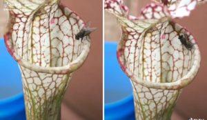 La relation mutualiste entre les plantes carnivores et les grenouilles