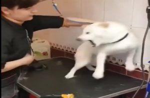Cette toiletteuse d'animaux tente de calmer un chien nerveux