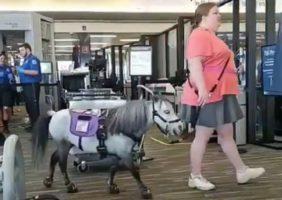 Un poney a eu l'acceptation de monter à bord d'un avion