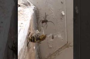 Un combat acharné entre une araignée et une guêpe