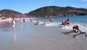 Des dauphins viennent s'échouer sans raison sur une plage au brésil
