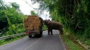 Un éléphant arrête un camion pour manger du foin