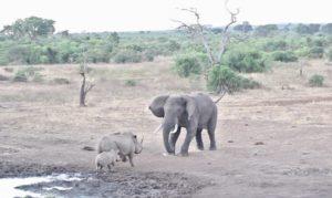 Une mère rhinocéros s'interpose pour sauver son bébé attaqué par un éléphant