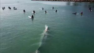 Une baleine curieuse nage en dessous d'un groupe de surfeurs