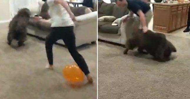 Ils utilisent des ballons de baudruche pour faire un jeu avec le chien