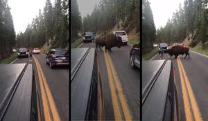 Il tente de faire partir un bison qui bloque la route