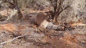Un chasseur libère un lion de montagne d'un piège à mâchoire