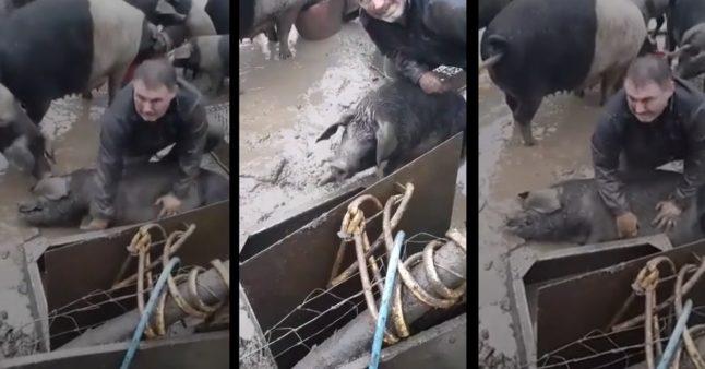 Un paysan tente désespérément de faire revivre son cochon
