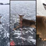Il sauve une famille de cerfs de Virginie pris au piège sur un lac gelé