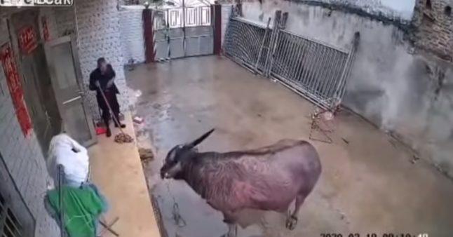 Un buffle s'échappe de l'abattoir et attaque son propriétaire à trois reprises!
