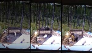 Ils filment l'enclos d'un nourrain pour découvrir pourquoi il ne grandis pas