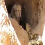 Une chatte sauvage défend ses bébés contre une attaque de serpent