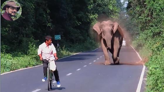 Un éléphant attaque un homme à vélo pour protèger sa petite famille