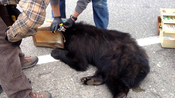 Un ours la tête coincée dans un bidon de café sauvé par des biologistes