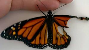 Une femme effectue une intervention chirurgicale sur un papillon blessé et sauve sa vie