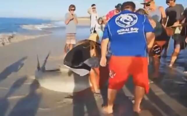 Trois hommes viennent sauver un requin échoué sur la plage à mains nues