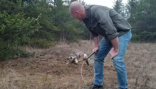 Un loup coincé dans un piège libéré par cet homme