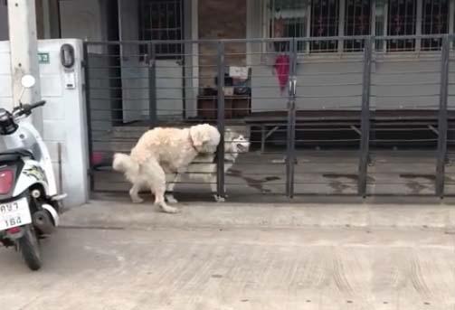 VIDÉO : Rien n'empêche un chien en chaleur. Même pas une barrière !
