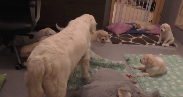 Une chienne apprend à ses chiots qu'ils sont trop grands pour téter