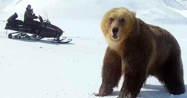 Un ours attaque un homme en motoneige !
