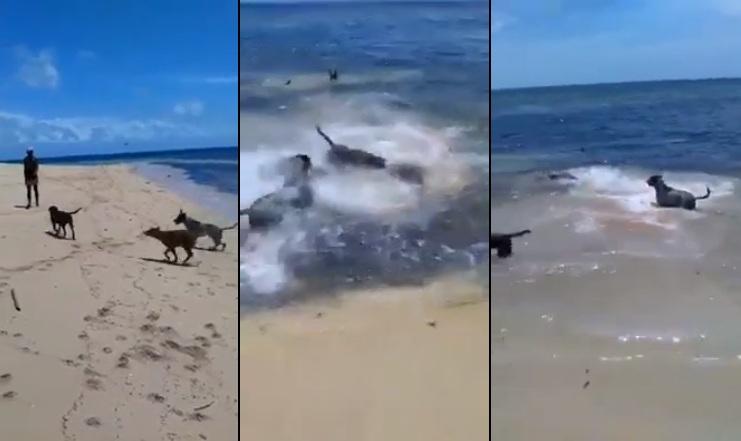 Un requin a essayé de manger un chien sur la plage et a été attaqué par ses amis les chiens