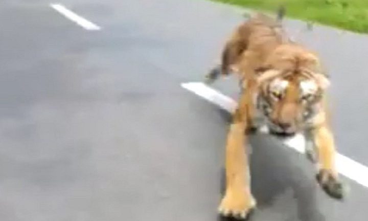 Un tigre court vers des motards terrifiés prenant la fuite pour sauver leur vie