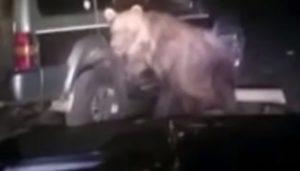 Un ours très agressif attaque les automobilistes en pleine nuit