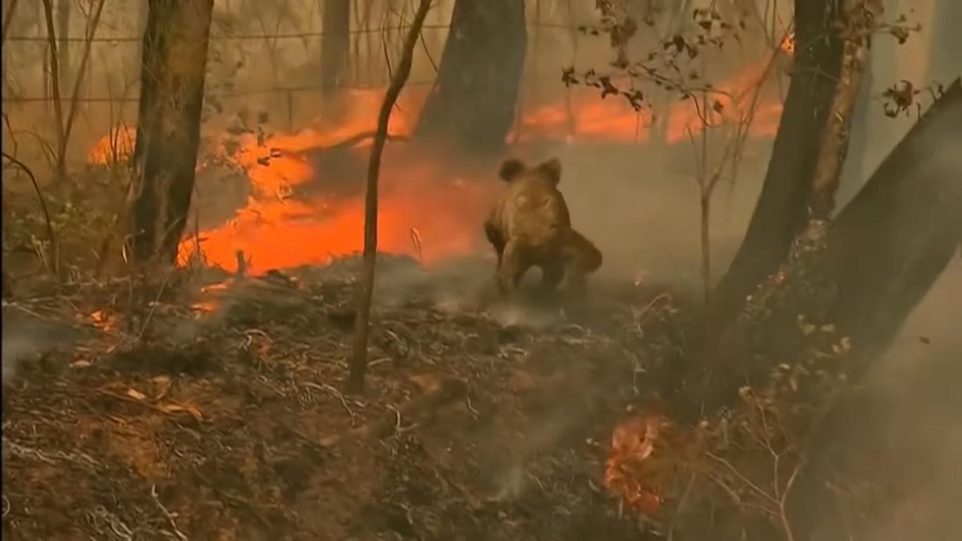 Une femme courageuse sauve un koala blessé d'un feu de brousse