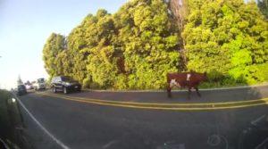 Une vache marche dans une route et provoque un bouchon de circulation