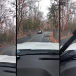 Des cerfs coincés sur une route foncent sur la clôture grillagée