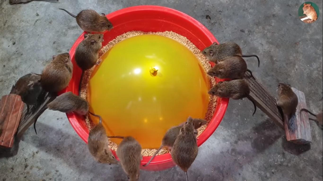 Un ballon gonflable dans un seau pour piéger beaucoup de souris