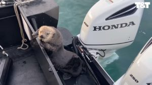 Une loutre sauve sa peau en montant sur un bateau