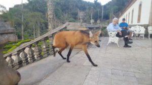 Un loup à crinière se régale d'un peu de nourriture