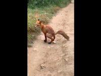 Un renard refuse de manger du pain et fini par chier dessus